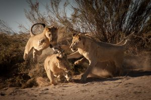 """CLAWS Conservancy presents """"Vanishing Kings: Lions of the Namib"""""""